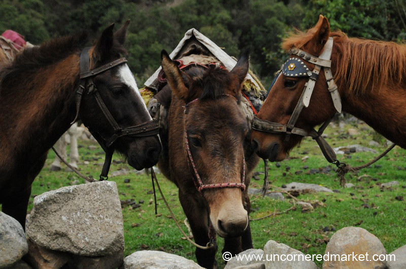 Horse and Mule Huddle - Day 3 of Salkantay Trek, Peru