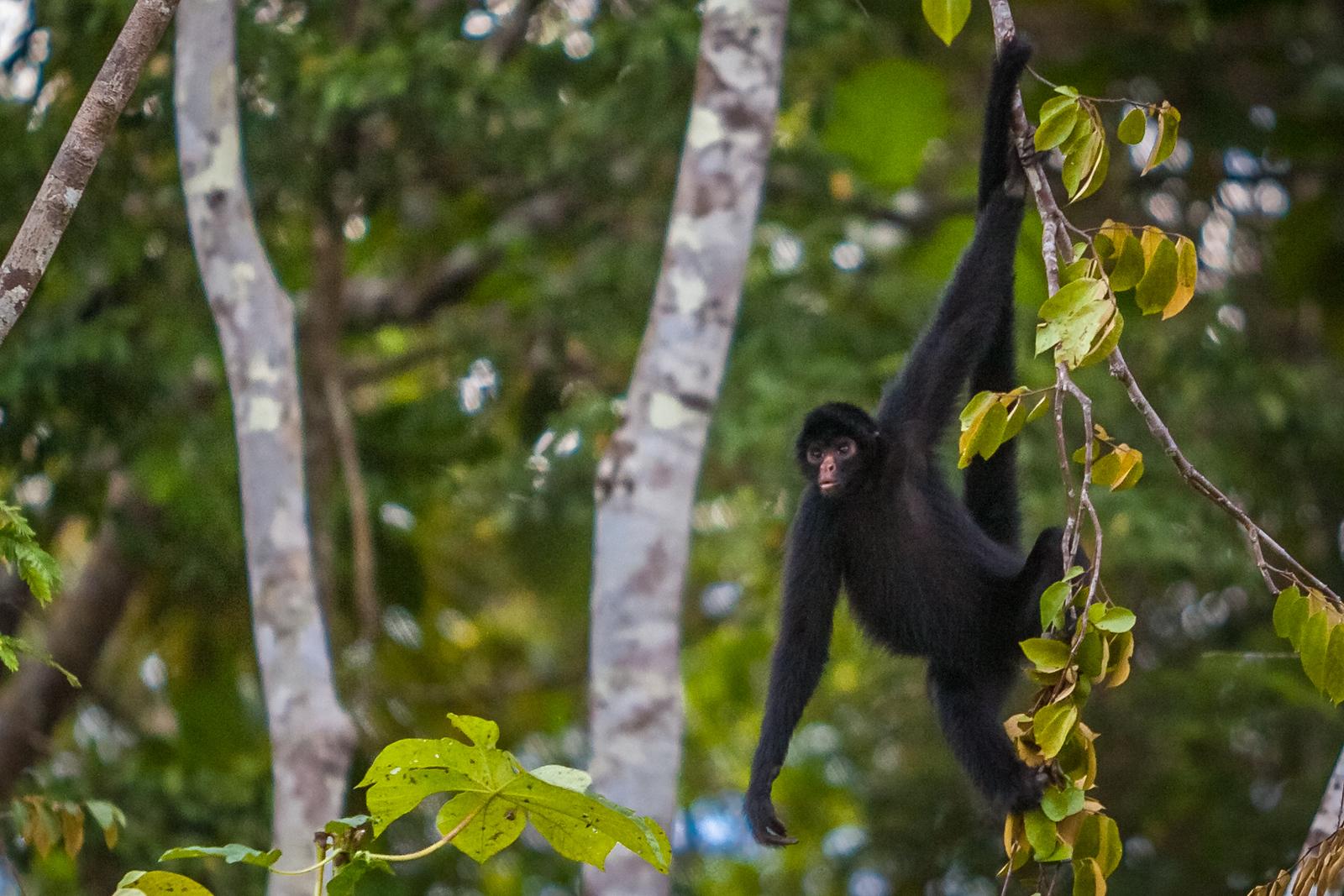 Amazon river wildlife monkey