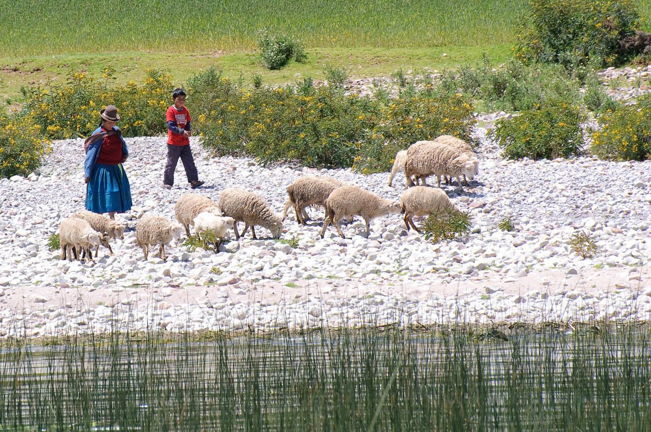 Lake Titicaca Sheep
