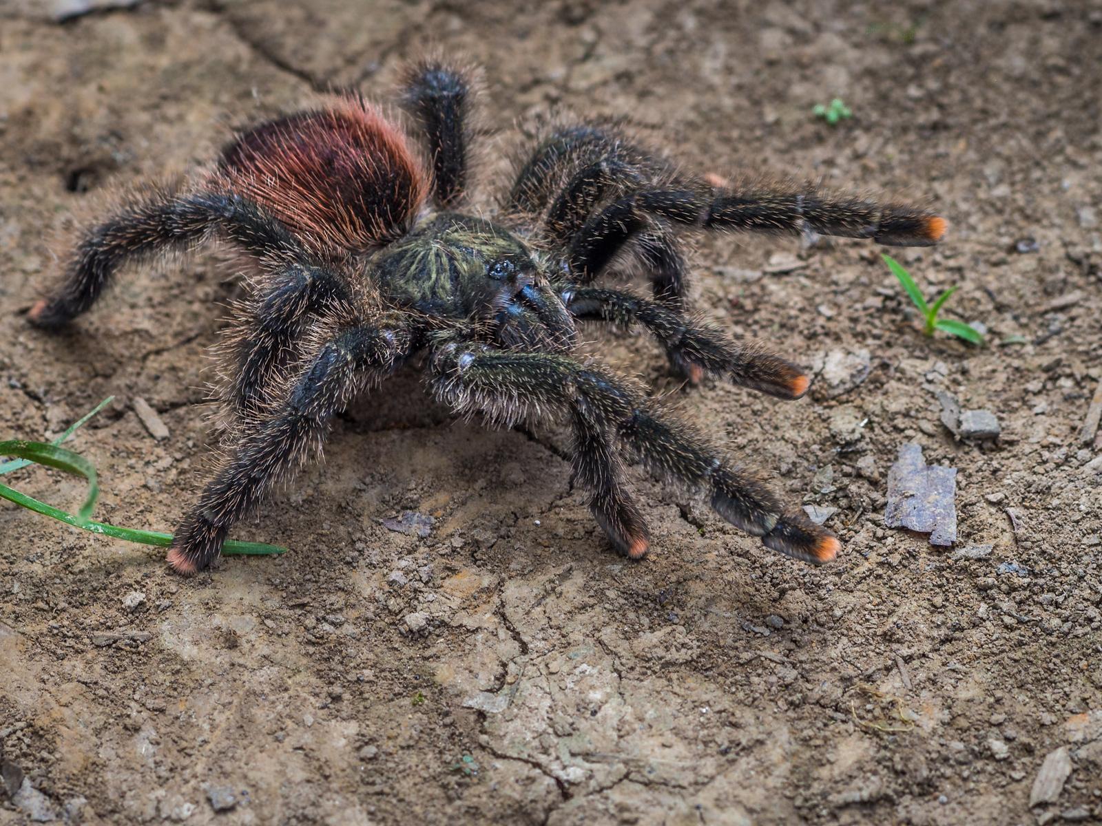 A Tarantula in the Amazon
