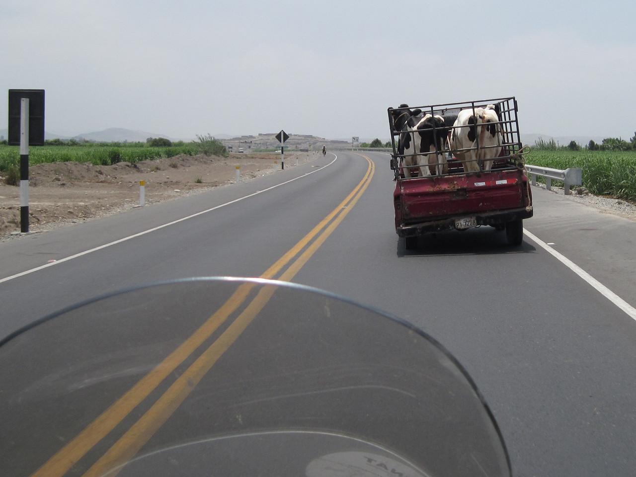Transporting Cows - Peru
