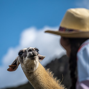 llama and Peruvian woman
