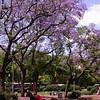 Pa 0006 Buenos Aires met Jacaranda mimosifolia