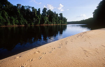 Central Suriname Nature Reserve - Foengoe Island, Jaguar tracks alongside the Coppename River