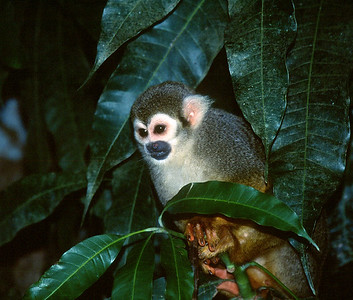 Central Suriname Nature Reserve - Foengoe Island, Squirrel monkey