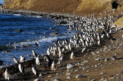 Magellanic Penguins, Magellanic Island