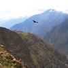 Colca Canyon. Condor