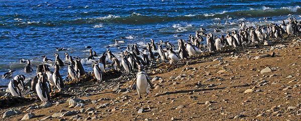 Magellanic-Penguins