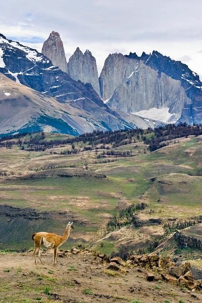 Guanaco at Torres del Paine National Park