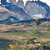Guanaco at Torres del Paine National Park