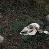 Guanaco skull