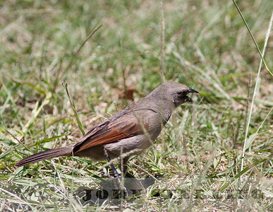 Bay-winged Cowbird