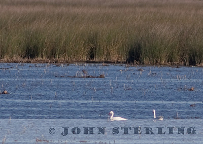 Coscoroba Swans