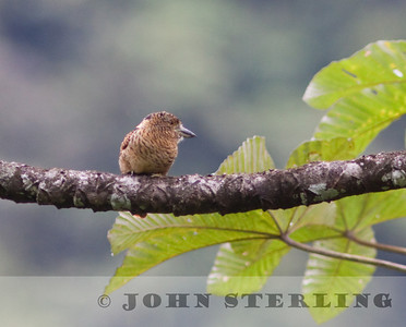 Barred Puffbird along the old Buenaventura Road
