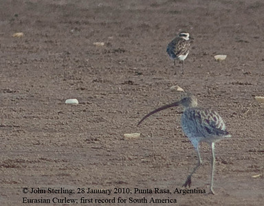 Eurasian Curlew at Argentina; first South American record!