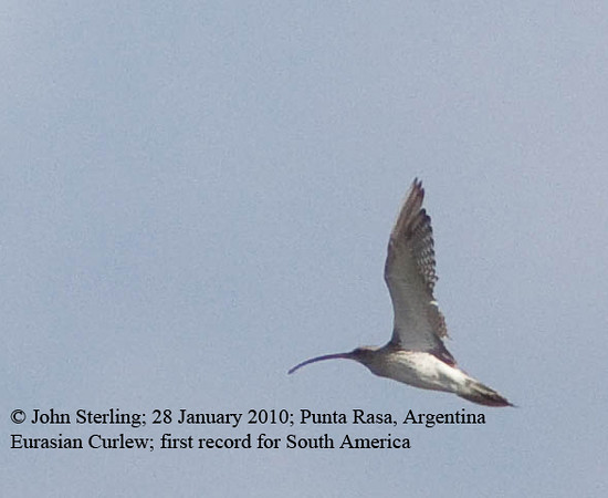 Eurasian Curlew in Argentina