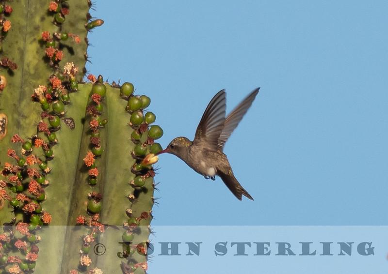 Dusky Hummingbird w18a