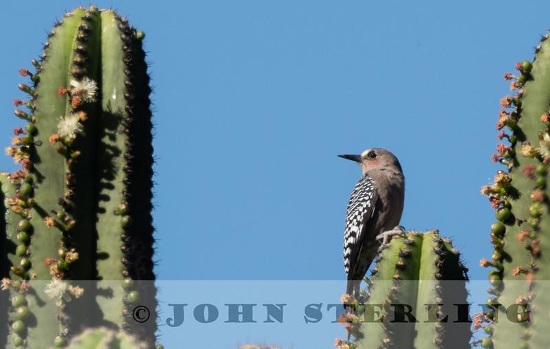 Gray-breasted Woodpecker w18a