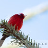 Red Warbler w18e