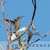 Dusky Hummingbird w18b