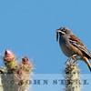 Bridled Sparrow w18a