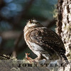Mountain Pygmy-Owl w18a