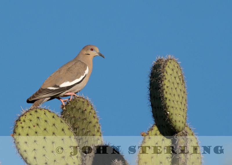 White-winged Dove w18a