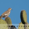 White-winged Dove w18a