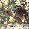 Oaxaca Sparrow w18a