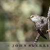 Gray-barred Wren w18c