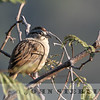 Oaxaca Sparrow w18b