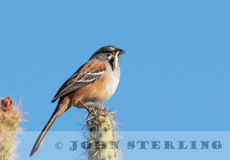 Bridled Sparrow w18b