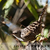 Gray-barred Wren w18a