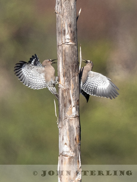 Gray-breasted Woodpecker w18b
