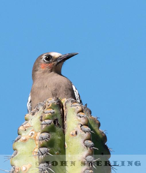 Gray-breasted Woodpecker w18e