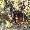 Oaxaca Sparrow w18d