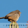 White-throated Towhee w18a