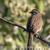 Oaxaca Sparrow w18c