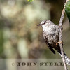 Gray-barred Wren w18b
