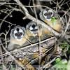 Azara's Night Monkeys