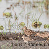 White-rumped and Pectoral Sandpipers