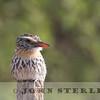 Chaco Puffbird