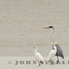 Cocoi Heron and Great Egrets