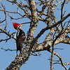 Black-bodied Woodpecker