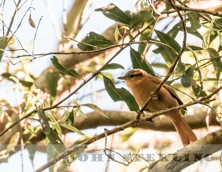 Ochre-breasted Foliage-Gleaner