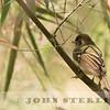 Sepia-capped Flycatcher
