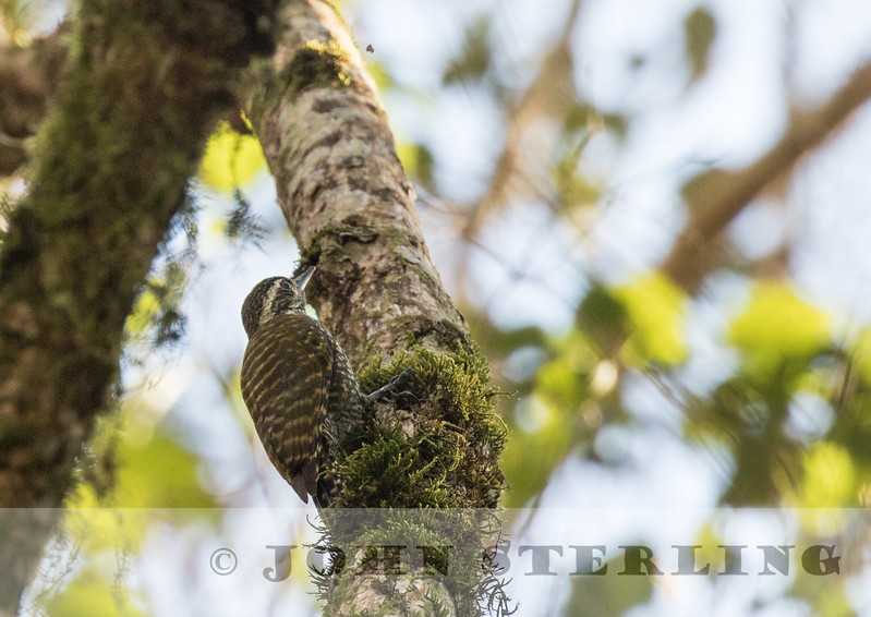 White-spotted Woodpecker