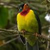 Scarlet-breasted Fruiteater