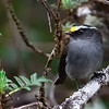 Crowned Chat-Tyrant