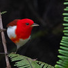 Scarlet-and-white Tanager